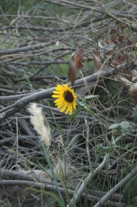 Sunflower blossoming in a brush pile at Safe Haven Farm, Haven, KS