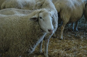 The cause of my foul language, Sheep at the Sedgwick County Zoo, Hutchinson, KS