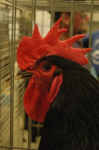 Big, bright rooster at the Kansas State Fair, Hutchinson, KS