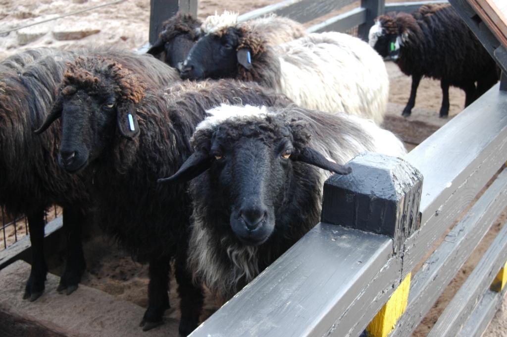 Sheep at the Sedgwick County Zoo, Wichita, KS