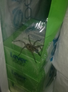 A giant wolf spider who took up residence in my bathroom cabinet, Haven, KS