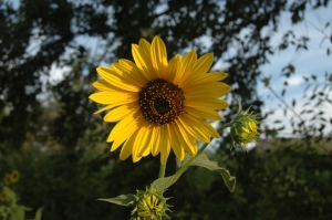 Happy sunflower on Safe Haven Farm, Haven, KS