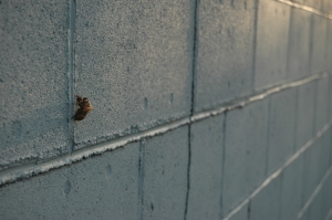 Empty cicada shell on the garage wall at Safe Haven Farm, Haven, KS
