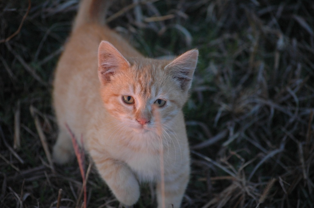 Typo the kitten looking mischievous at Safe Haven Farm, Haven, KS