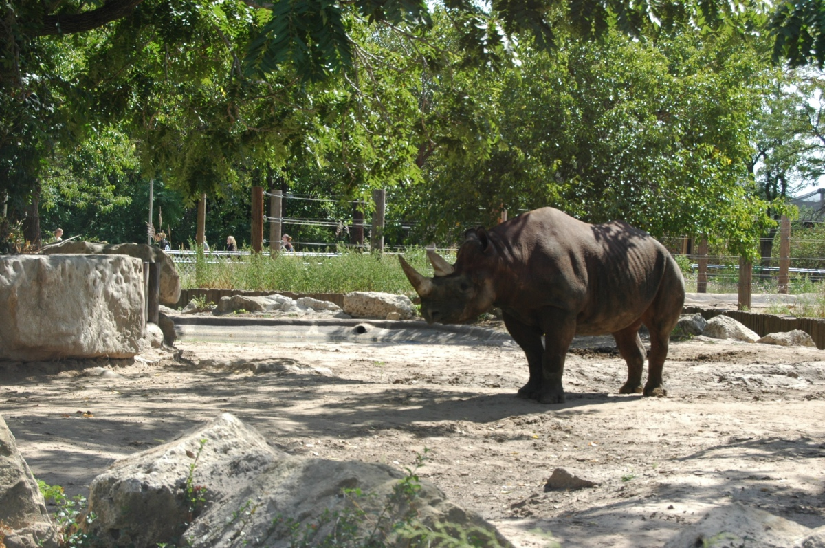 Black rhino at the Sedgwick County Zoo, Wichita, KS