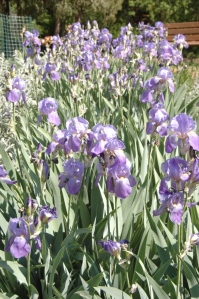 Irises in bloom at Glen Eyrie, Colorado Springs, CO