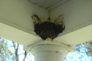 Barn swallow nest on the front porch at Safe Haven Farm, Haven, KS