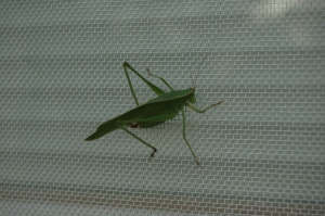 Grasshopper on a windowscreen at Safe Haven Farm, Haven, KS