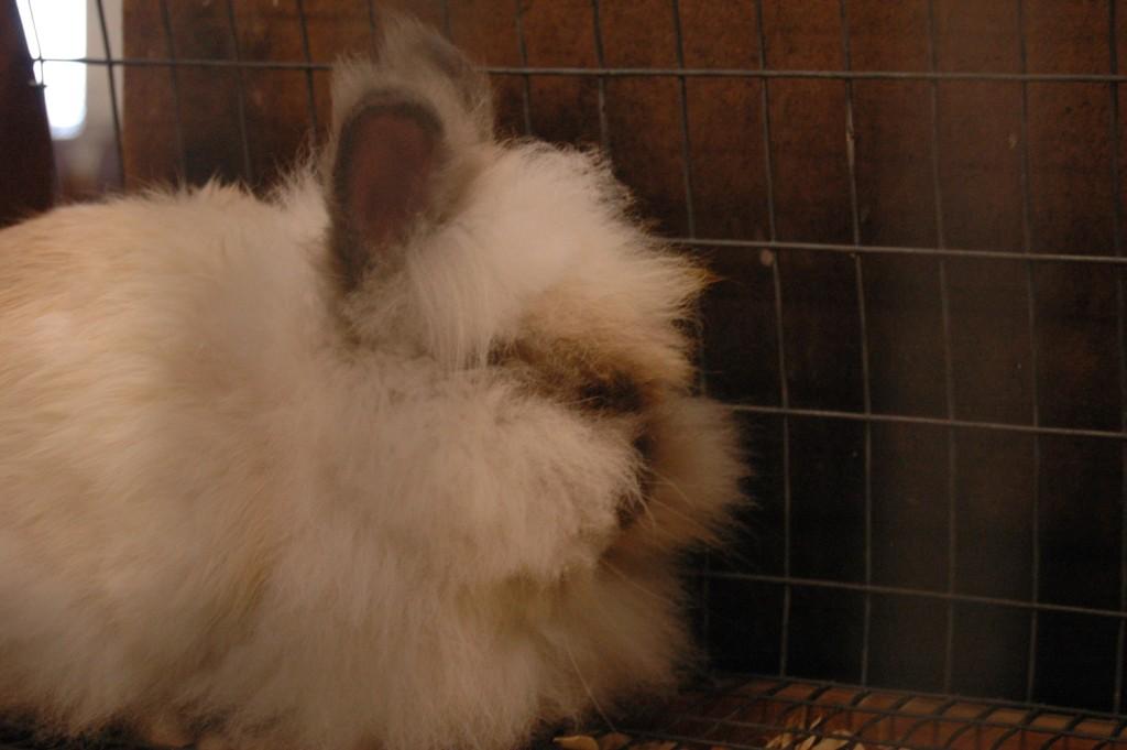 Ridiculous looking rabbit at the Sedgwick County Fair, Hutchinson, KS
