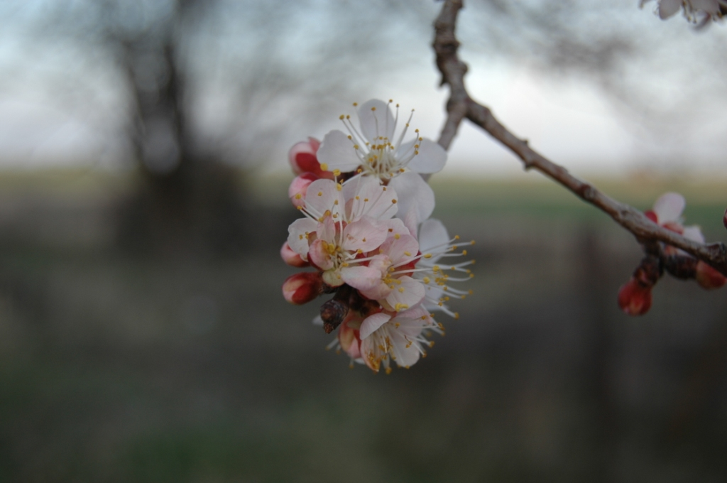 Apricots blossoming in the Safe Haven Farm orchard, Haven, KS