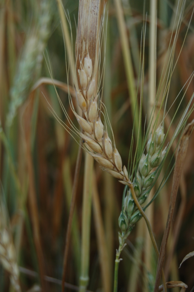 Wheat heads ripening in the field across from Safe Haven Farm, Haven, KS