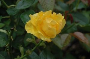 Pretty yellow flower at the Dallas Arboretum, Dallas, TX