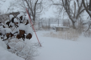Snow on the lilac bushes at Safe Haven Farm, Haven, KS
