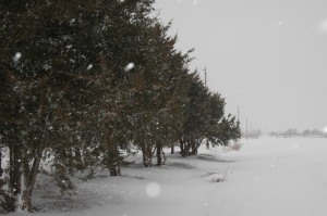 Pines and cedars along the road at Safe Haven Farm, Haven, KS