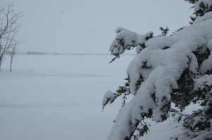 Snow on the front yard cedar at Safe Haven Farm, Haven, KS