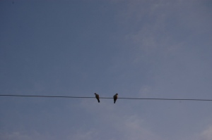 Doves sitting on a power line at Safe Haven Farm, Haven, KS