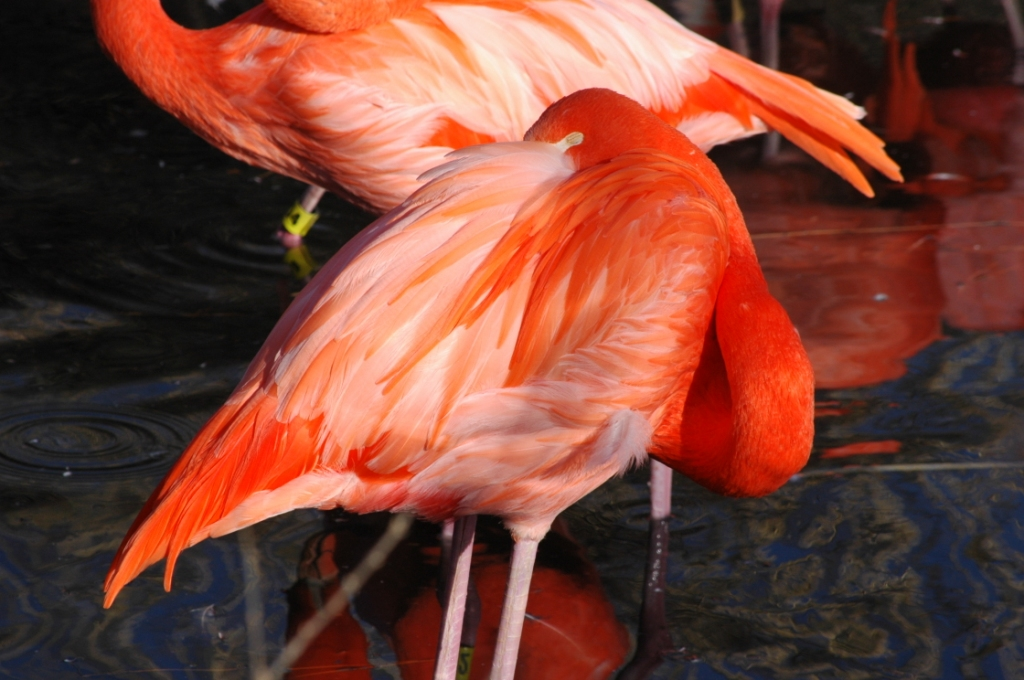Flamingos at the Sedgwick County Zoo, Wichita, KS
