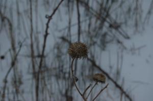 Dead sunflower after a blizzard at Safe Haven Farm, Haven, KS