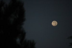 The moon in the evergreens at Safe Haven Farm, Haven, KS
