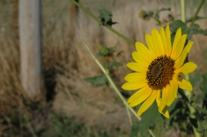 Happy sunflower at Safe Haven Farm, Haven, KS