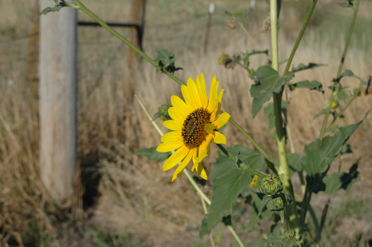 Sunflower in a field near Safe Haven Farm, Haven, KS