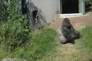 A gorilla in the sun at the Sedgwick County Zoo, Wichita, KS