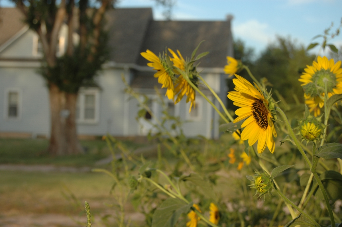 A sunflower and Safe Haven Farm, Haven, KS