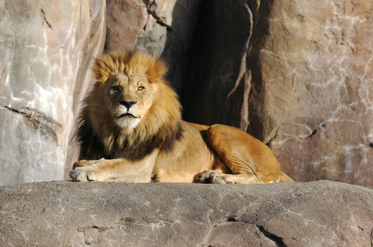 Lion at the Sedgwick County Zoo, Wichita, KS