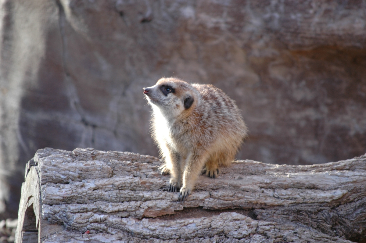 Meerkat at the Sedgwick County Zoo, Wichita, KS