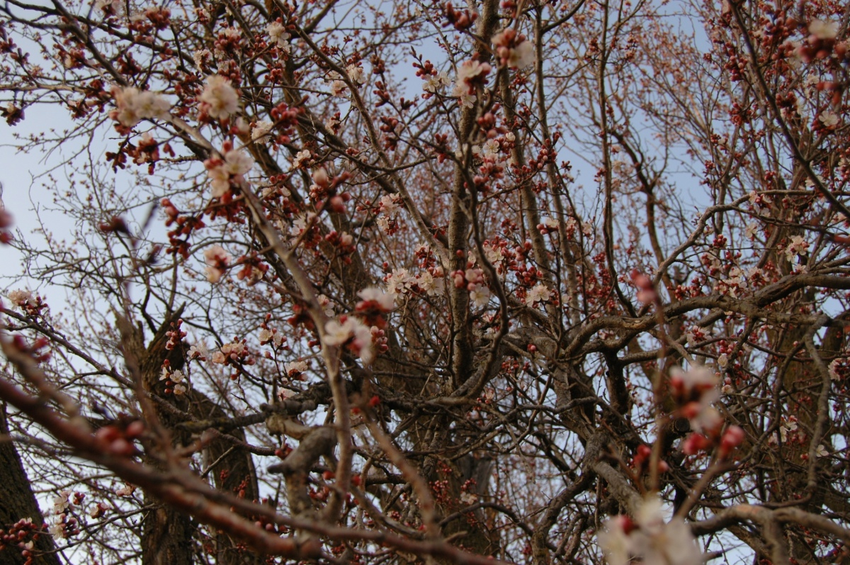 New blossoms on the apricot trees at Safe Haven Farm, Haven, KS