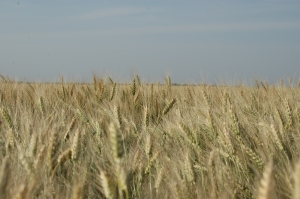 Wheat nearly ready to harvest at Safe Haven Farm, Haven, KS