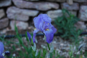 Beautiful iris at Glen Eyrie, Colorado Springs, CO