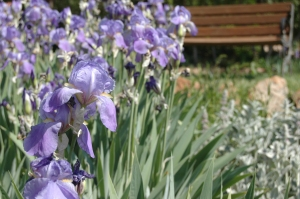 Beautiful irises in the sunlight at Glen Eyrie, Colorado Springs, CO