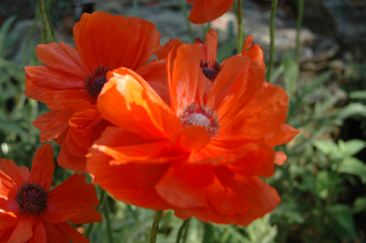 Blooming poppy at Glen Eyrie, Colorado Springs, CO