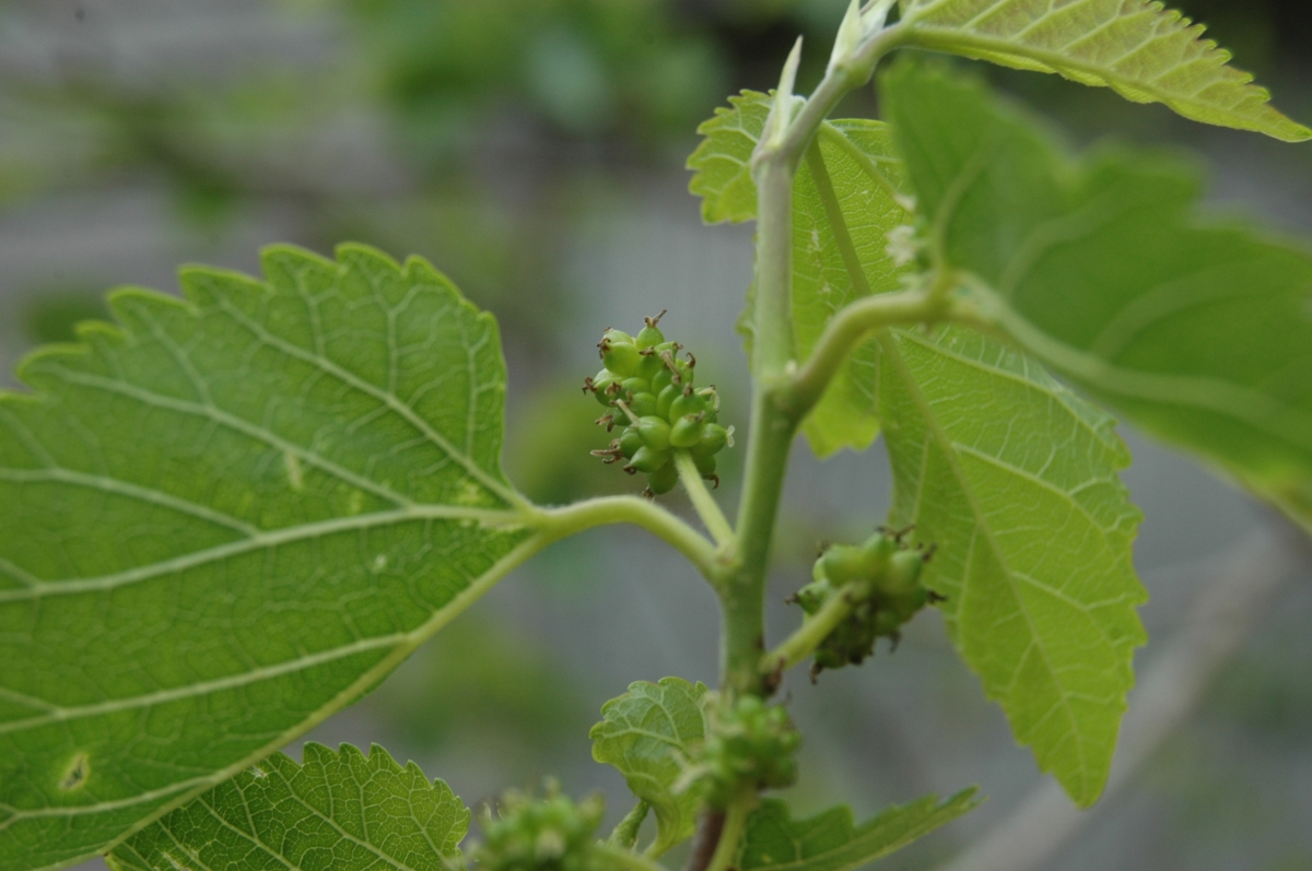 Green mulberry growing on the tree at Safe Haven Farm, Haven, KS
