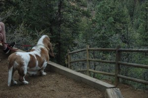 Booker the Basset Hound looking down the trail on the hike at Helen Hunt Falls, Colorado Springs, CO