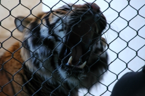 A tiger showing his teeth at the Sedgwick County Zoo, Wichita, KS