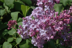 Blossoming lilacs at Safe Haven Farm, Haven, KS