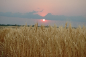 The wheat field across from Safe Haven Farm ready for harvest, Haven, KS