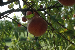 Beautiful ripe peach on the tree, Entz Family Orchard near Whitewater, KS