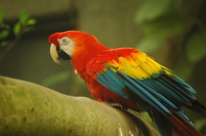 Scarlet Macaw at the Sedgwick County Zoo, Wichita, KS