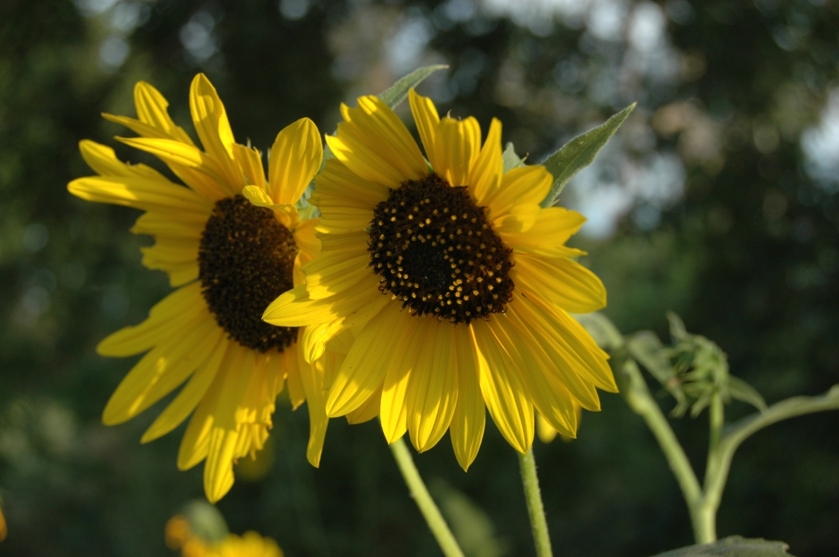 Two sunflowers at Safe Haven Farm, Haven, KS