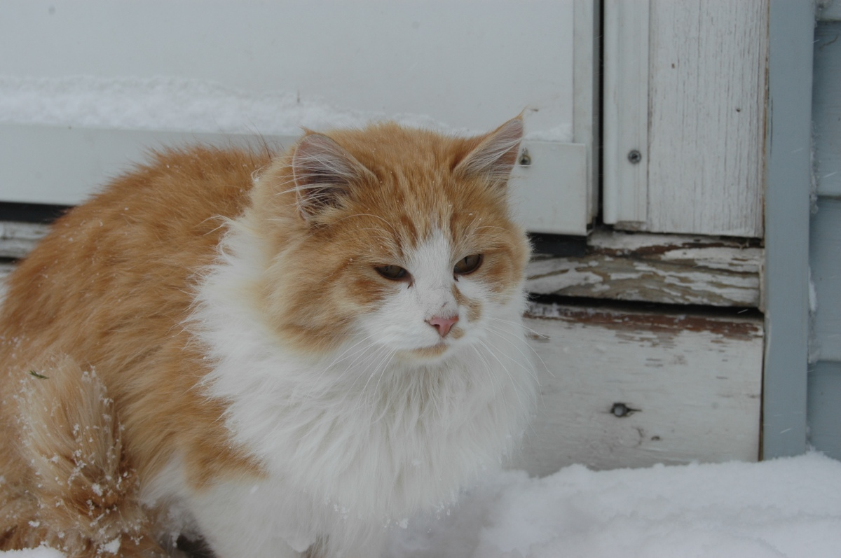 Barney the cat with his grumpy face in the snow at Safe Haven Farm, Haven, KS