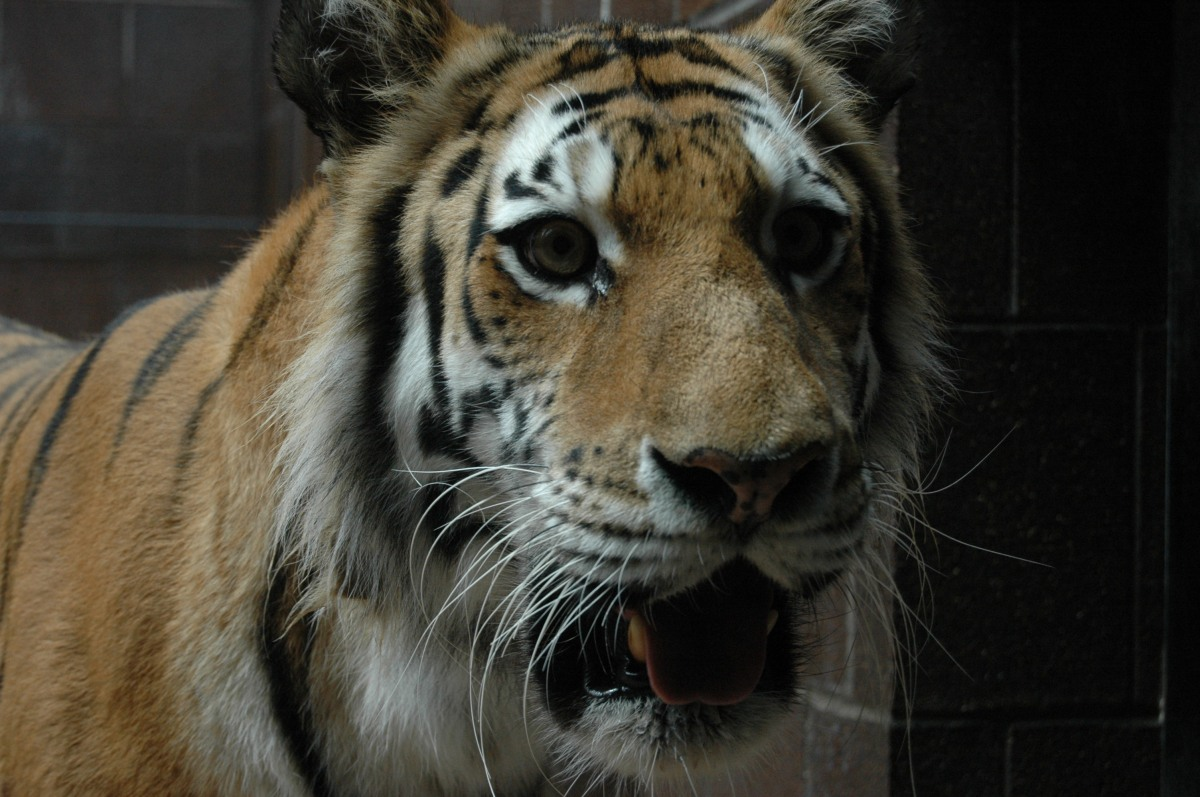 One of the tigers at the Omaha Zoo, Omaha, NE