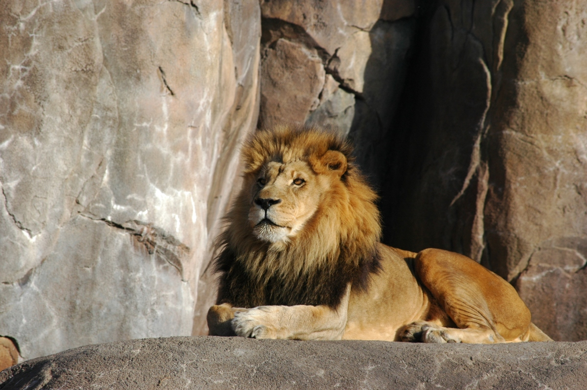 Lion in the sun at the Sedgwick County Zoo, Wichita, KS