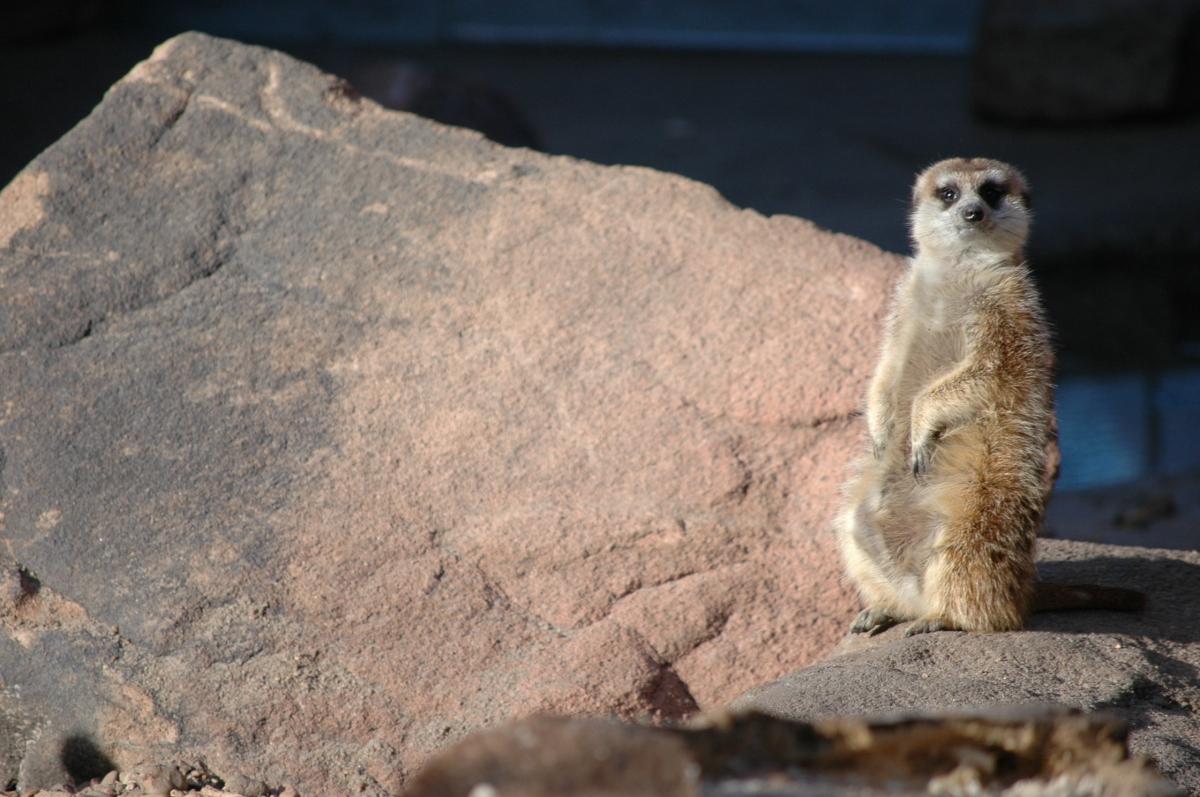 A meerkat at the Sedgwick County Zoo, Wichita, KS