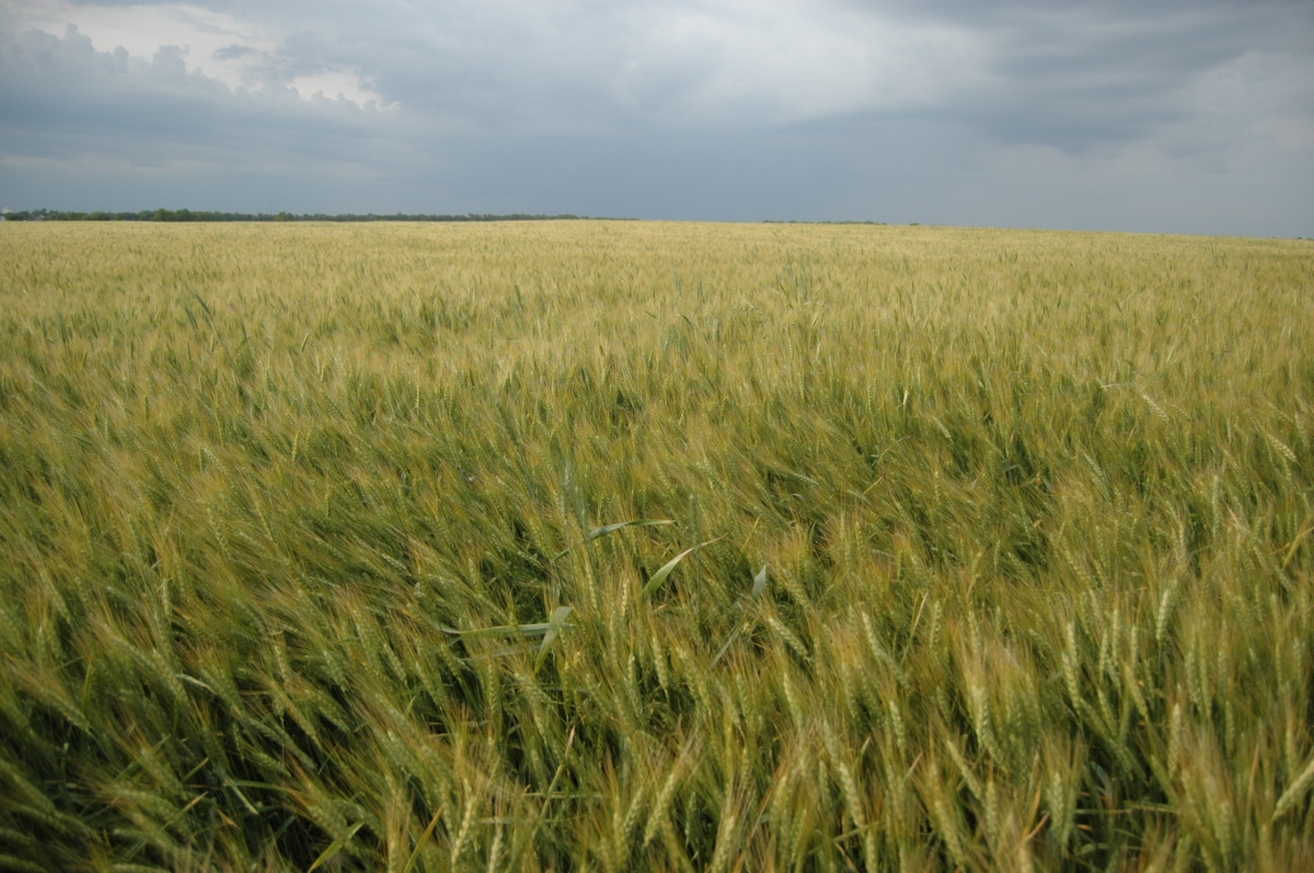 A wheat field before a storm at Safe Haven Farm, Haven, KS