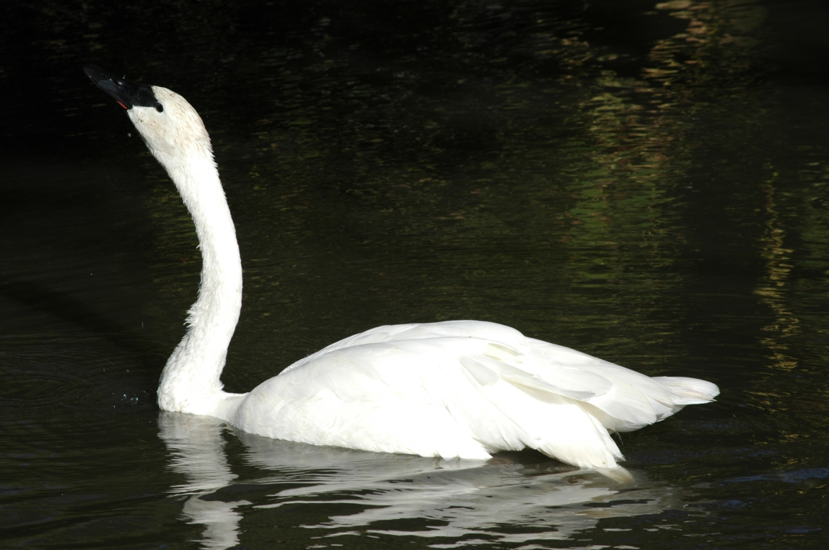 Swan on the water at the Sedgwick County Zoo, Wichita, KS