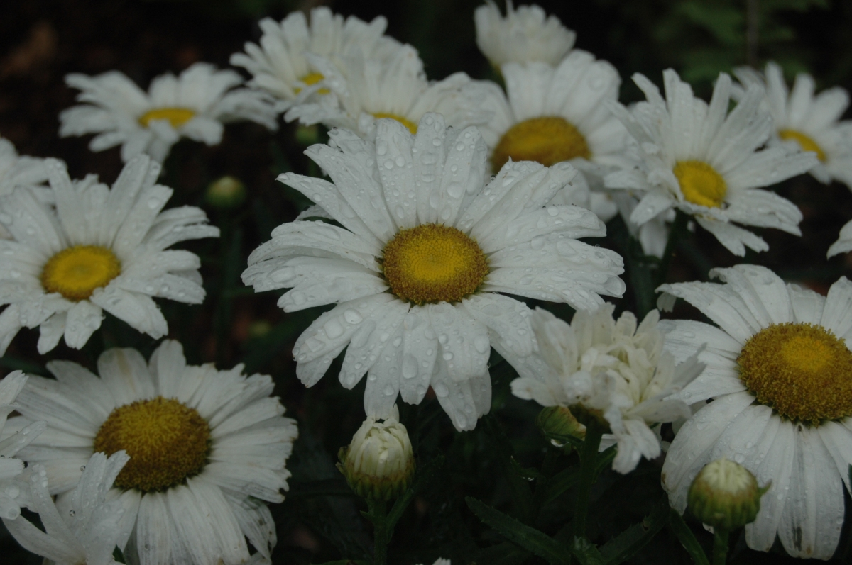 Raindrops on daisies at the Dallas Arboretum, Dallas, TX