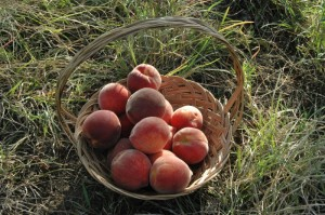 Fresh-picked peaches in a basket